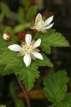 Trailing Blackberry blossoms & foliage detail