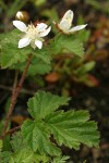 Trailing Blackberry blossoms & foliage