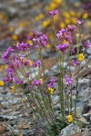 Waldo Rockcress w/ Yellow Monkeyflower soft bkgnd