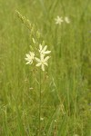 Great Camas (white form)