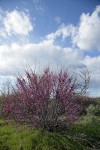California Redbud