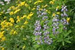 Broadleaf Lupines w/ Mountain Arnica