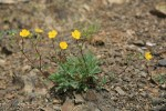 Mountain Meadow Cinquefoil on scree