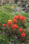 Cliff Paintbrush