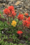 Cliff Paintbrush w/ Alpine Goldenrod