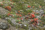 Cusick's Locoweed, Cliff Paintbrush, Pink Heather foliage