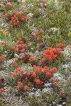 Cliff Paintbrush among Pink Heather foliage