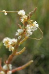 Salt Marsh Dodder on Slender Pickleweed, detail