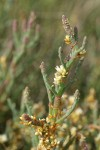 Salt Marsh Dodder on Slender Pickleweed