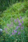 Fireweed on disturbed slope