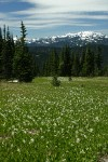 Avalanche Lilies in meadow w/ Mt. Olympus bkgnd