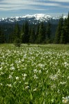 Avalanche Lilies in meadow w/ Mt. Olympus soft bkgnd