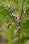 Bittersweet Nightshade blossoms & foliage