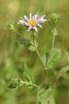 Western Meadow Aster blossom & foliage detail