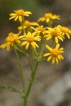 Rocky Mountain Groundsel blossoms