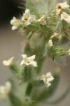 Northern Cryptantha blossoms detail
