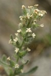 Northern Cryptantha blossoms