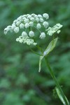 Sharptooth Angelica blossoms detail