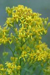 Meadow Goldenrod blossoms detail