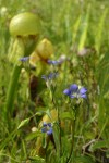 Mendocino Gentian in Darlingtonia fen