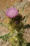 Steens Mountain Thistle blossom & foliage detail