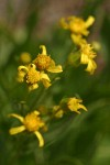 Thick-leaved Groundsel blossoms detail