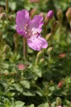 Rock Willowherb blossoms & foliage