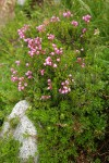 Pink Mountain-heather w/ Partridgefoot foliage
