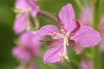 Fireweed blossom detail