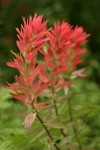 Giant Red Paintbrush bracts & blossoms