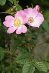 Nootka Rose blossoms & foliage
