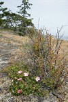 Stunted Nootka Rose on dry rocky coastal bluff