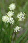 Western False Asphodel blossoms