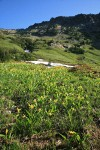 Glacier Lilies in meadow of Copper Creek basin