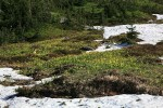 Glacier Lilies blooming in meadow, surrounded by melting snow