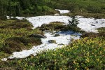 Glacier Lilies blooming in meadow around melting snow