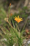 Nodding Microseris