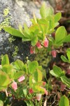 Dwarf Blueberry blossoms & foliage