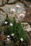 Wandering Daisies w/ Thread-leaved Sandwort
