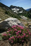 Pink Mountain-heather on rocky slope w/ Copper Point bkgnd
