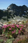 Pink Mountain-heather on rocky slope w/ Stiletto Peak ridge bkgnd