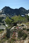 Pink Mountain-heather, White Heather, Whitebark Pine, Engelmann Spruce w/ Stiletto Peak ridge bkgnd