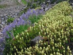 Partridgefoot & Broadleaf Lupines on talus slope