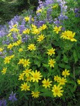 Mountain Arnica & Broadleaf Lupines