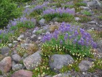Partridgefoot & Broadleaf Lupines on glacial moraine