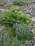 Broadleaf Lupines, Partridgefoot, Mountain Hemlock on glacial moraine