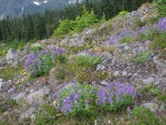 Broadleaf Lupines, Partridgefoot, Mountain Hemlocks on glacial moraine