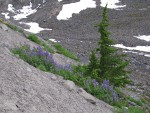 Broadleaf Lupines, Mountain Hemlock on glacial moraine