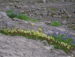 Partridgefoot, Broadleaf Lupines, Mountain Arnica on glacial moraine