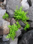 Cascade Parsley Fern